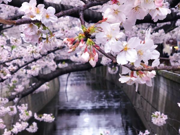 目黒川の画像